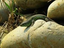 取暖小的绿蜥蜴爬行在岩石和在阳光下 库存照片