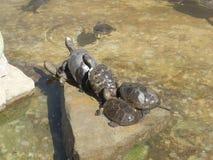 取暖接近的星期日乌龟 免版税库存照片