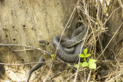 取暖有毒蛇蝎的蛇在阳光下 库存图片