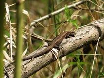 取暖森林的蜥蜴 库存照片