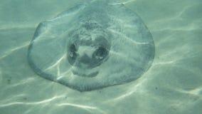 取暖狂放的黄貂鱼在阳光下 免版税库存图片