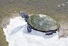取暖的乌龟在阳光下 库存照片