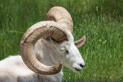 取暖的大角野绵羊在阳光下 库存图片