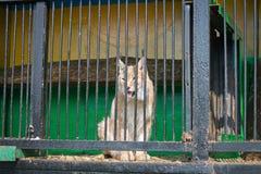 取暖的天猫座在阳光下坐在流动动物园的细胞 库存照片