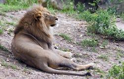 取暖的狮子 免版税库存照片