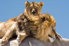 取暖的狮子 库存照片