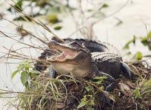 取暖的美国短吻鳄 库存图片