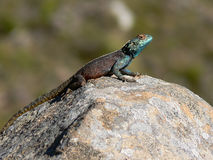 取暖的蜥蜴岩石 免版税图库摄影
