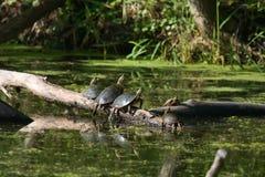 取暖的被绘的星期日乌龟 免版税库存图片