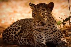 取暖的豹子 免版税库存图片