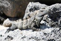 取暖的鬣鳞蜥 库存照片
