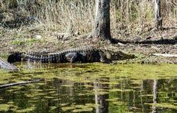 取暖的鳄鱼在阳光下 免版税图库摄影