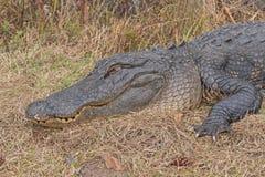 取暖的鳄鱼的顶头射击 免版税库存图片