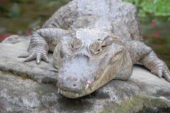 取暖的鳄鱼 免版税图库摄影