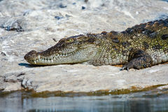 取暖的鳄鱼 免版税库存照片