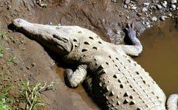 取暖的鳄鱼 免版税库存图片