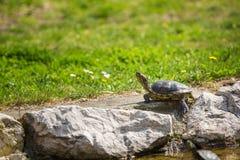 取暖红有耳的滑子的乌龟在阳光下 免版税图库摄影