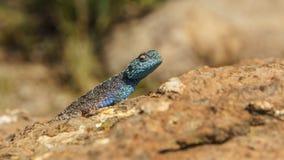 取暖蓝色的蜥蜴 免版税图库摄影