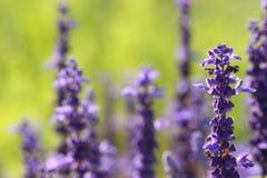 取暖蓝色Salvia的花在阳光下 库存图片