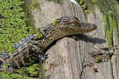 取暖婴孩的美国短吻鳄在阳光下 免版税库存照片