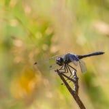 取暖黑突进者的蜻蜓在阳光下 图库摄影