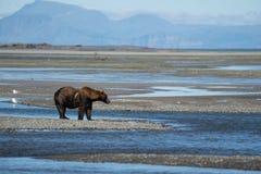 受伤的受伤的阿拉斯加的沿海棕熊北美灰熊 库存照片