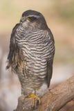 受伤的欧亚混血人Sparrowhawk 免版税库存照片