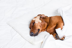 受伤的狗 免版税库存照片