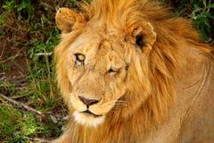 受伤的狮子 免版税库存图片