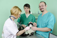 受伤的猫 库存照片