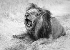 受伤的老狮子 库存照片
