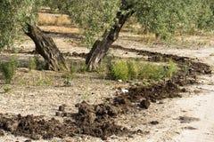 受精,西班牙的治疗在一棵橄榄树的 库存照片