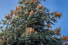 受苦与锥体的procera高尚的冷杉和天空蔚蓝作为背景 免版税图库摄影