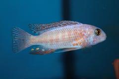 变体斑马mbuna (Pseudotropheus斑马)水族馆鱼 免版税库存图片