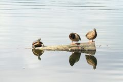 变冷与两只鸭子的乌龟 免版税库存图片
