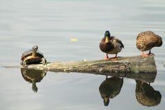 变冷与两只鸭子的乌龟 库存照片