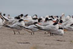 变冷在海滩的典雅的燕鸥 免版税库存图片