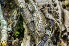 变冷在肢体的蜥蜴 库存照片
