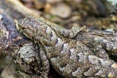 变冷在肢体的蜥蜴 库存图片