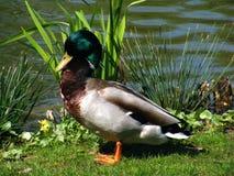 变冷的鸭子在阳光下 免版税库存图片