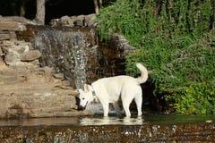 变冷静在一个装饰水池的一条全白的狗 免版税图库摄影