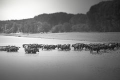 变冷静在河的母牛 免版税库存图片