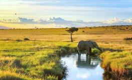 变冷静在马塞人玛拉手段,肯尼亚的水中的大象 免版税库存图片
