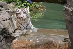 变冷静在水中的白色老虎 库存图片