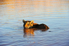 变冷静在水中的老虎 免版税库存图片