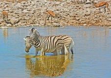 变冷静在waterhole的2匹斑马 免版税库存照片