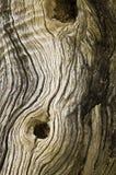 变干的模式结构树 免版税库存照片