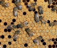 变形的被密封的细胞,里面蜂箱 一只新的蜂emer 库存照片