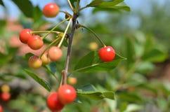 变得的欧洲酸樱桃成熟 图库摄影