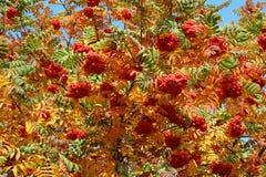 变成灰烬秋天成熟灌木的山 免版税库存照片